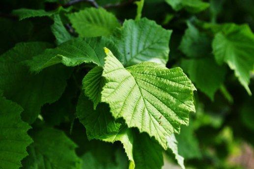 nocciolo_contorto_foglie